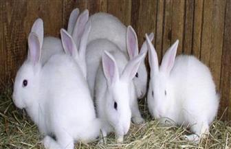 للأرانب لغة.. تعرف عليها
