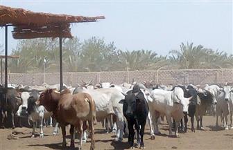 بدء وصول أضاحي الأوقاف إلى مجزر أبو سمبل استعدادا لبدء الذبح عقب صلاة العيد