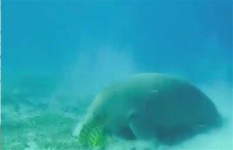 رئيس جمعية الإنقاذ بالبحر الأحمر يكشف تفاصيل ظهور عروس البحر بمرسى علم   فيديو