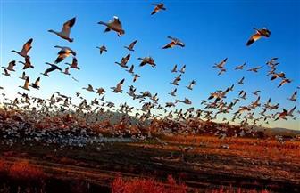 محافظ مطروح يصدر تراخيص لصيد الطيور المهاجرة وفقا للاشتراطات البيئية | صور