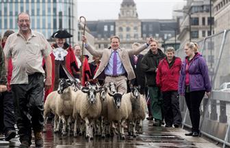 الخراف تعبر جسر لندن مع انطلاق معرض الصوف السنوي في بريطانيا | صور
