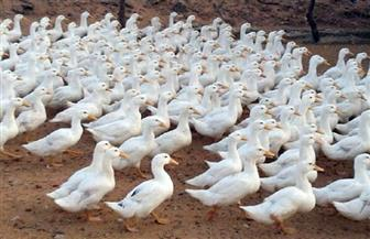 """""""الزراعة"""": إعدام 25 ألف بطة واردة من فرنسا لإصابتها بالسالمونيلا"""
