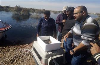 إطلاق 8 تماسيح ببيئتها الطبيعية في بحيرة ناصر.. والتصدي للبيع غير المشروع