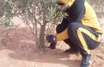 بحوث الصحراء: 225 مزرعة زيتون تطبق برنامج الممارسات الزراعية الجيدة بمطروح