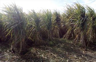 بمناسبة بدء موسم حصاده.. تعر ف على أول عصارة قصب السكر تم اختراعها في العالم | صور