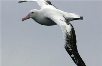 طائر القطرس يمكن أن يدل على سفن الصيد غير القانوني