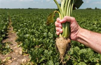 """الانتهاء من زراعة 120 ألف فدان بنجر سكر.. و""""التموين"""" تستهدف استلام 2.3 مليون طن من المزارعين"""