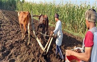 حكاية «عريبي» بالصعيد.. كيف استخدم المحراث الفرعوني بالزراعة؟ | فيديو وصور