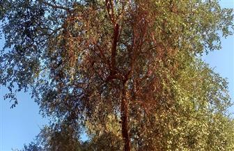 تمر الصحراء وعلاج السعال.. تعرف على حكاية شجرة الهجليج بقنا| فيديو وصور
