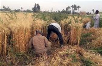 «الزراعة» تصدر نشرة بالتوصيات الفنية لمكافحة حشائش الزمير في محصول القمح
