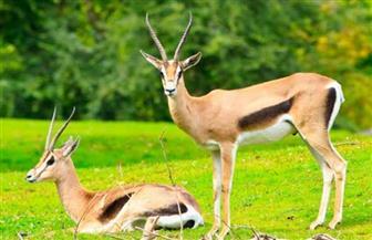 دراسة من جمعية بكمبوديا: الغزلان وبعض الحيوانات البرية يواجهون خطر الانقراض
