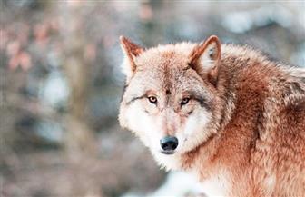 دراسة: الكلاب انفصلت عن الذئاب كفصيلة مستقلة قبل 40 ألف عام