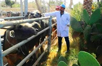 تحصين 79 ألفا و407 رؤوس ماشية ضد مرض الحمى القلاعية بالشرقية   صور