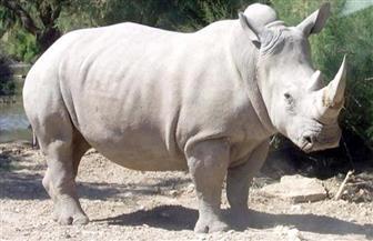 وحيد القرن الأبيض يواجه الانقراض في كينيا