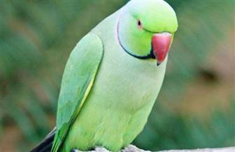 ببغاء أخضر طحلبي اللون يتصدر انتخابات طائر العام في نيوزيلندا