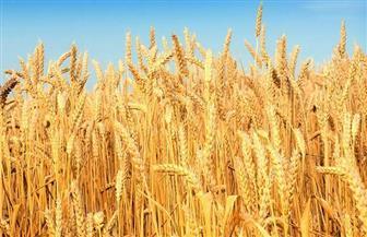 زراعة 220 فدان قمح وشعير خلال الموسم الشتوي بمطروح