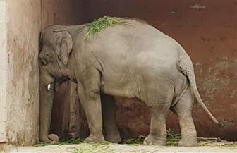 """الفيل """"كافان"""" يغادر باكستان من أجل حياة جديدة فى كمبوديا"""