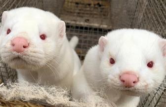 بدء مشروع للتخلص من جثث لحيوانات المنك في الدنمارك