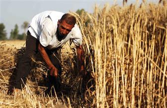الزراعة تنصح مزارعي القمح بالالتزام بالمواعيد المناسبة وبالتقاوي المعتمدة