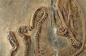 العثور على حفرية أقدم ثعبان عاش في أوروبا قبل 47 مليون سنة في ألمانيا
