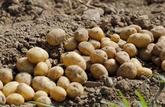 وكيل وزارة التموين: المنيا الأكثر إنتاجًا للبطاطس.. والثانية في إنتاج القمح