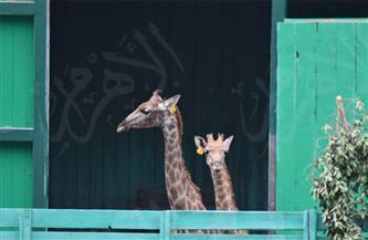 الوجبات المفضلة للزرافات الثلاثة «زيزو وشيكي وفرح» في حدقة حيوان الجيزة| صور