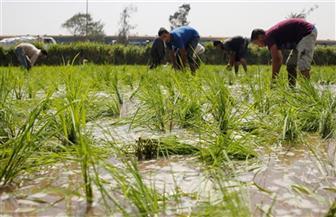 نظم تكثيف الأرز الجديدة تكنيك ناجح أم أوهام مطلقة؟