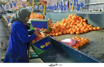رغم كورونا.. مصر الأولى عالميا فى تصدير البرتقال.. قصة نجاح يرويها المزارعون