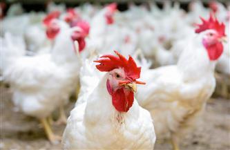 رئيس اتحاد الدواجن يكشف لـ«بوابة الأهرام» أسباب حظر استيراد الدواجن وأجزائها من الخارج