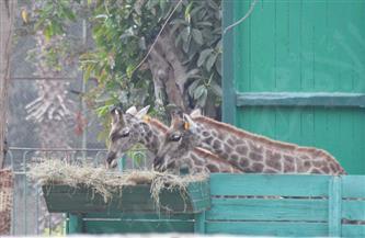 رئيس الإدارة المركزية لحدائق الحيوان: الزراف المستورد من جنوب إفريقيا لا يزال بفترة الحجر الصحي   صور