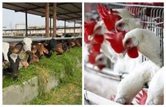 الزراعة: إصدار 363 رخصة تشغيل مزرعة دواجن ومواشٍ