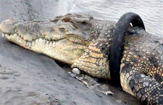 «مهمة انتحارية» لإنقاذ تمساح.. والحكومة ترصد مكافأة للبطل