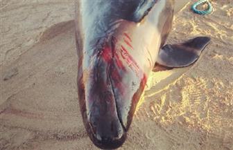 """محافظ البحر الأحمر يوجه بنقل """"الحوت القاتل الكاذب"""" إلى معهد علوم البحار وتشريحه لمعرفة سبب نفوقه"""