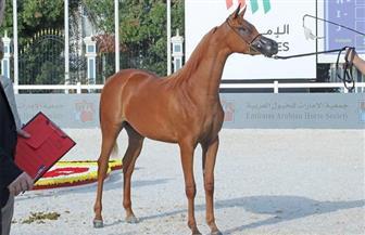 انطلاق منافسات بطولة أبوظبي الدولية لجمال الخيول العربية
