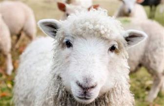 تغريم مربي ماشية اسكتلندي بعدما لكم خروفين