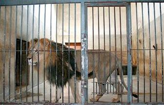 العثورعلى أشلاء موظف داخل حظيرة أسود في حديقة حيوانات في باكستان