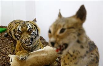 البيئة تشن حملة مكبرة لحماية التنوع البيولوجي وتضبط حيوانات محنطة بشرم الشيخ