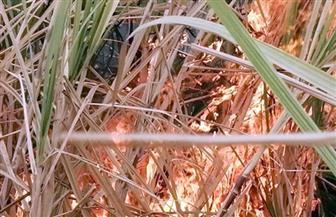 السيطرة على حريق بزراعات القصب بقرية البصيلية في أسوان