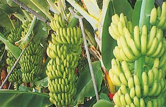 الزراعة والري تتفقان على تنظيم زراعة الموز من أجل ترشيد المياه