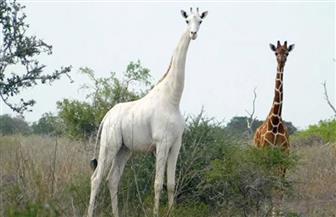 صيادون في كينيا يقتلون زرافة بيضاء نادرة وصغيرها