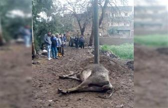 بسبب الأمطار.. إنقاذ فلاح ونفوق ماشية صعقها التيار الكهربائي في كفر الزيات
