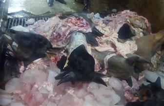 إعدام 5 أطنان لحوم غير صالحة للاستهلاك الآدمي بسوهاج | صور