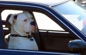 """كلب """"بيتبول"""" يقود سيارة ويورط الشرطة الأمريكية في مطاردة مثيرة"""
