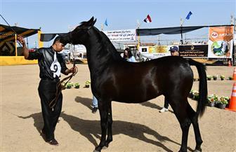 محافظ البحيرة يفتتح المهرجان الدولي الثالث عشر للخيول | صور