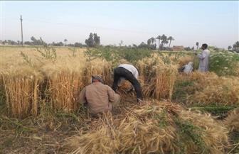 الزراعة تنفي تقليص رقعة الأراضي المزروعة بالقمح