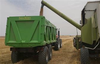 بدء حصاد القمح في مشروع غرب المنيا وحصاد البنجر 26 أبريل| صور