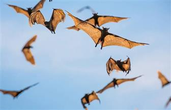 الزراعة تكشف تفاصيل اكتشاف بؤرة خفافيش جديدة في بني سويف