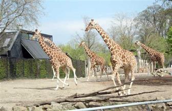 حدائق حيوان الدنمارك تعيد فتح أبوابها الشهر المقبل وسط تخفيف القيود المتعلقة بكورونا