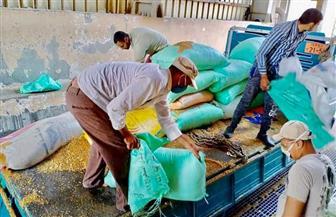 توريد 3324 طن قمح من المزارعين في كفر الشيخ | صور