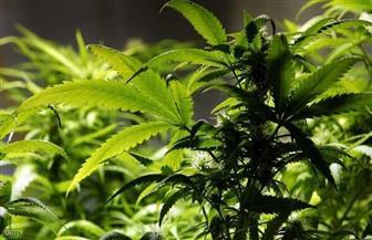 لبنان يجيز زراعة القنب للاستخدام الطبي